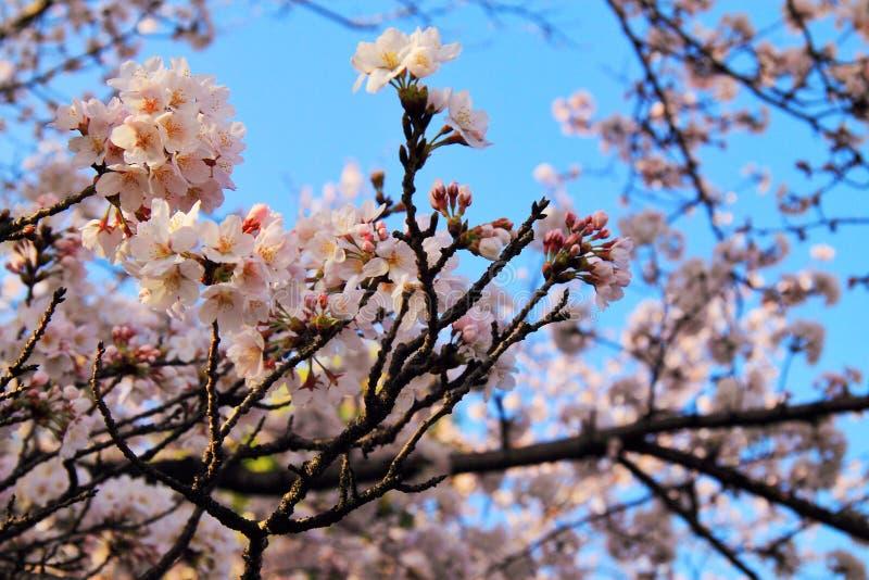 Sakura i en ren morgon arkivbild