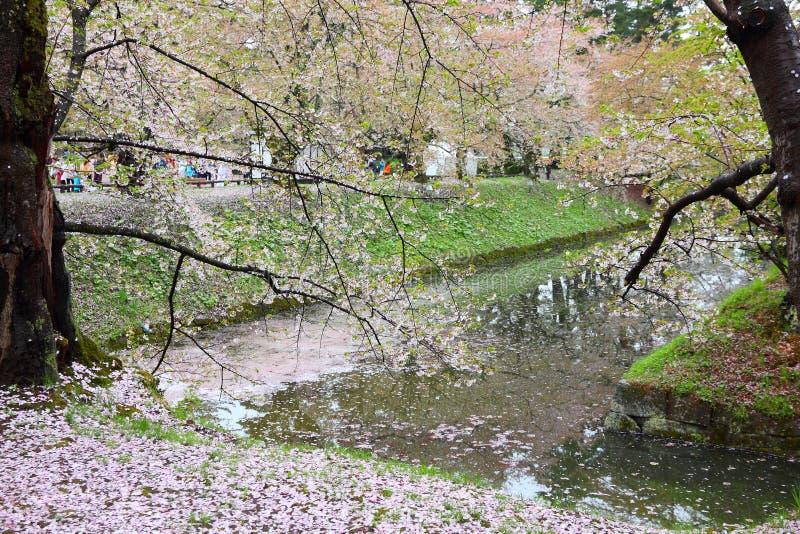 Sakura i japan arkivbilder