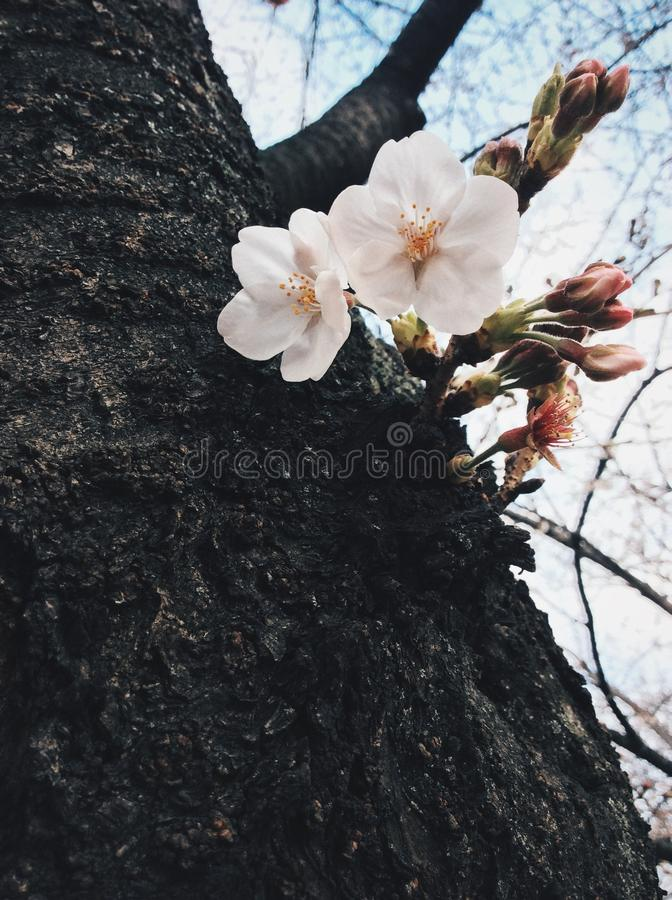 Sakura i japan royaltyfria foton