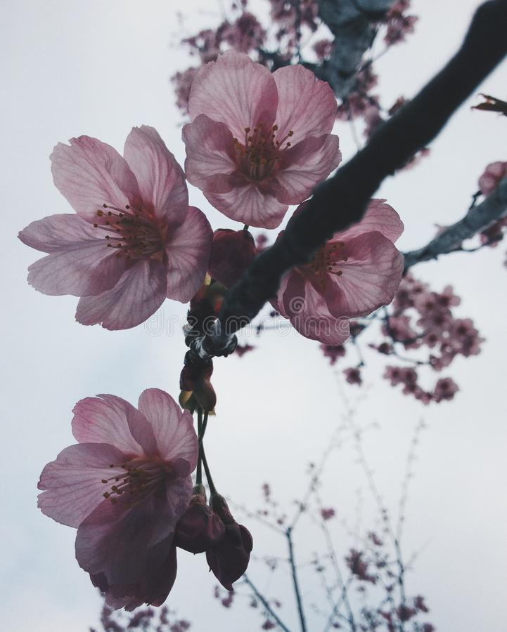 Sakura i japan arkivfoto