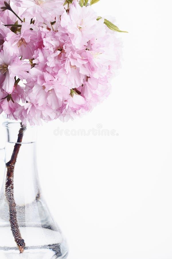 Sakura Il tempo di primavera? ? aumentato foglie, sfondo naturale fotografia stock libera da diritti