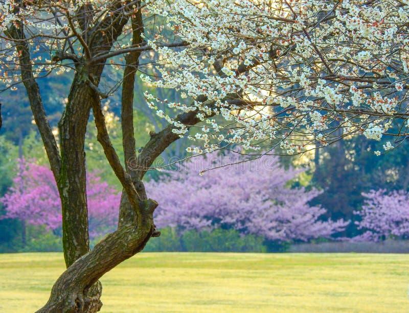 Sakura in Japan royalty free stock images