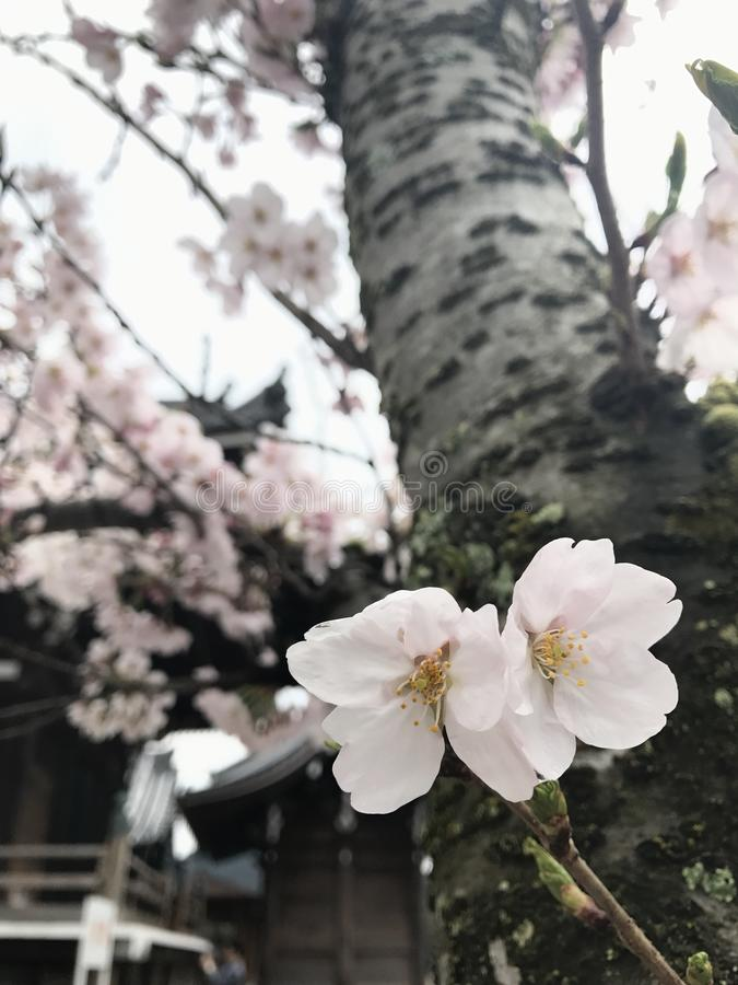 Sakura jest miękkim menchii kwiatem obraz royalty free