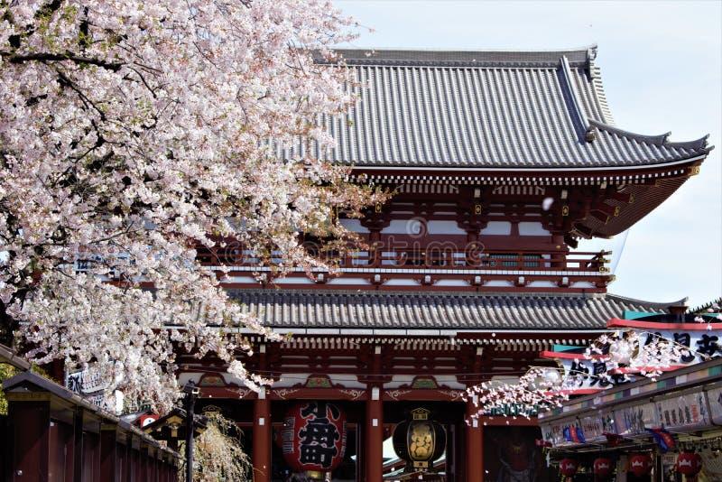 Sakura körsbärsröd blomning under Hanami tid framme av den Hozomon porten, Senso-ji tempel, Asakusa, Tokyo, Japan fotografering för bildbyråer