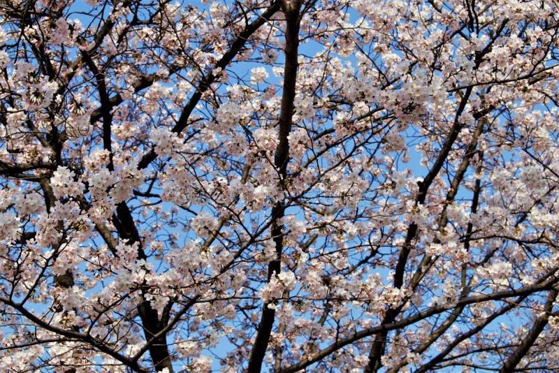 Sakura körsbärsröd blomning under Hanami tid i Seoul, Korea arkivfoton