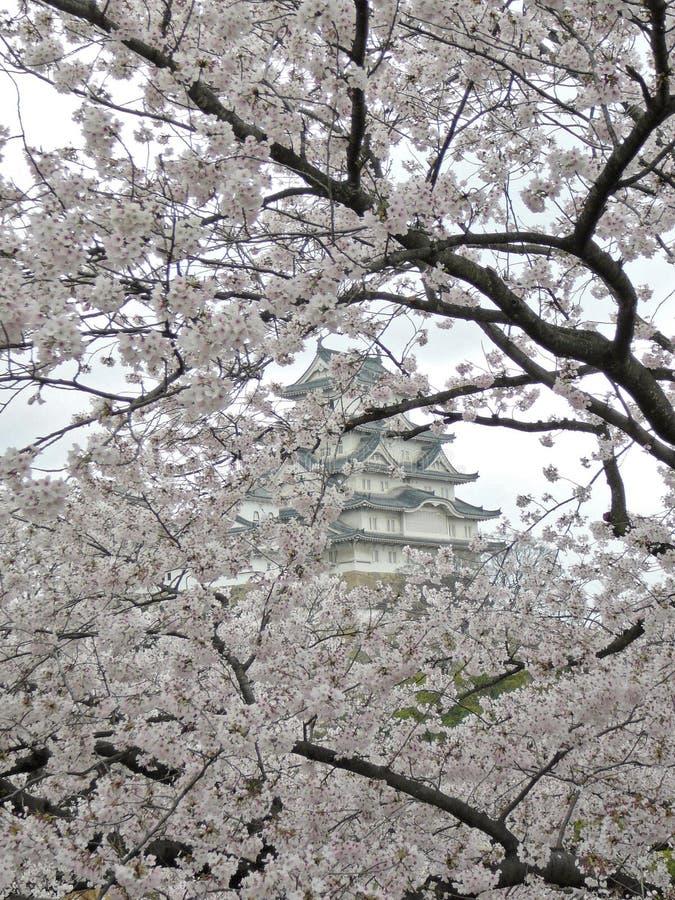 Sakura (körsbärsröda blomningar) i det bakgrundsHimeji slottet arkivfoton