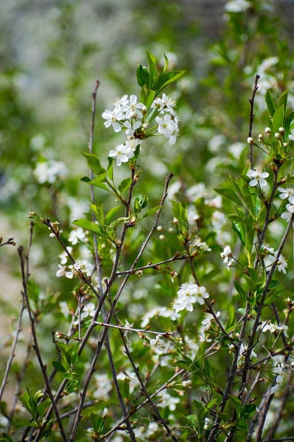 Sakura of kersen de volledige bloei van de bloesembloem in lentetijd Mooie bloeiende kersenboom royalty-vrije stock foto's