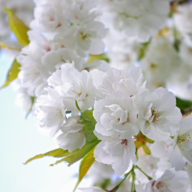Sakura in Keukenhorf, Cherryblossom royalty-vrije stock foto's