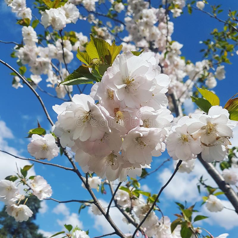 Sakura in Kiev, de Oekraïne royalty-vrije stock afbeeldingen