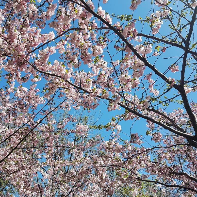 Sakura in Kiev, de Oekraïne royalty-vrije stock foto