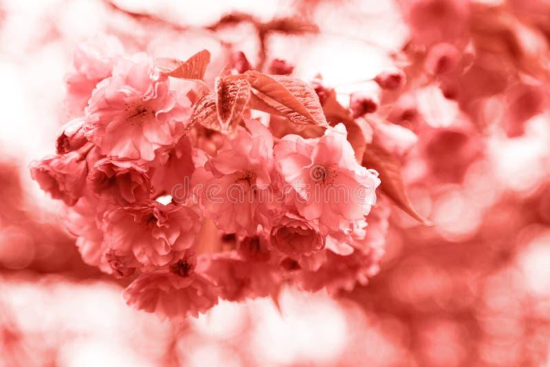 Sakura koralowy kwiat Żywi korali kolory Kolor rok 2019 zdjęcie stock