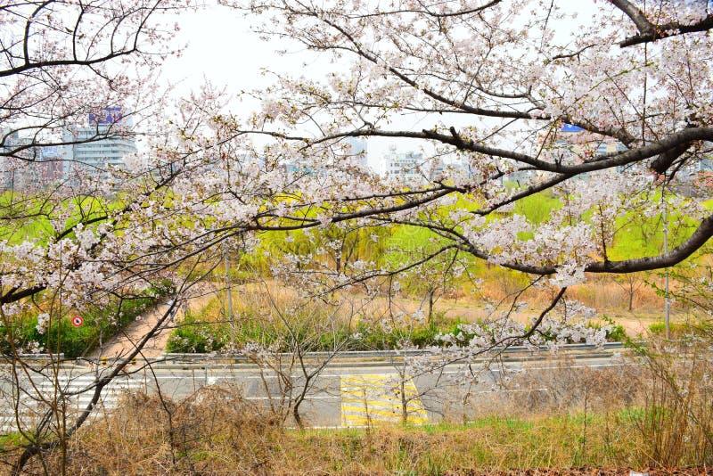 Sakura in Korean street. Sakura in Korean in street is good see and enjoy the moment with this view stock photos