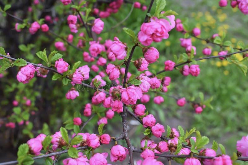 Sakura kwiat lub Czereśniowy okwitnięcie Z Pięknym natury tłem obraz stock