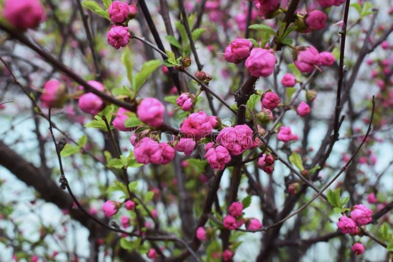 Sakura kwiat lub Czereśniowy okwitnięcie Z Pięknym natury tłem obrazy royalty free