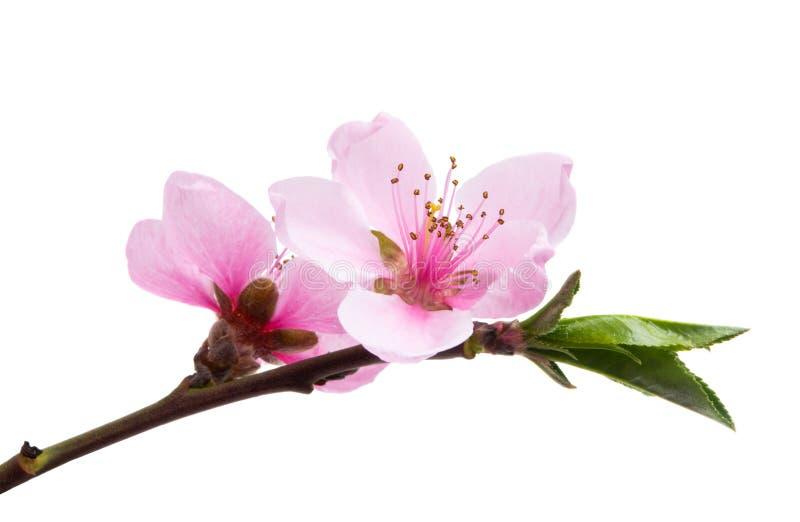 Sakura kwiat Odizolowywający obrazy royalty free