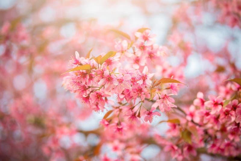 Sakura kwiat w Japonia zdjęcie royalty free