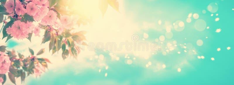 Sakura kwiatu czereśniowy okwitnięcie panoramiczny Kartka z pozdrowieniami tła szablon Płytka głębia Miękki rocznik tonujący