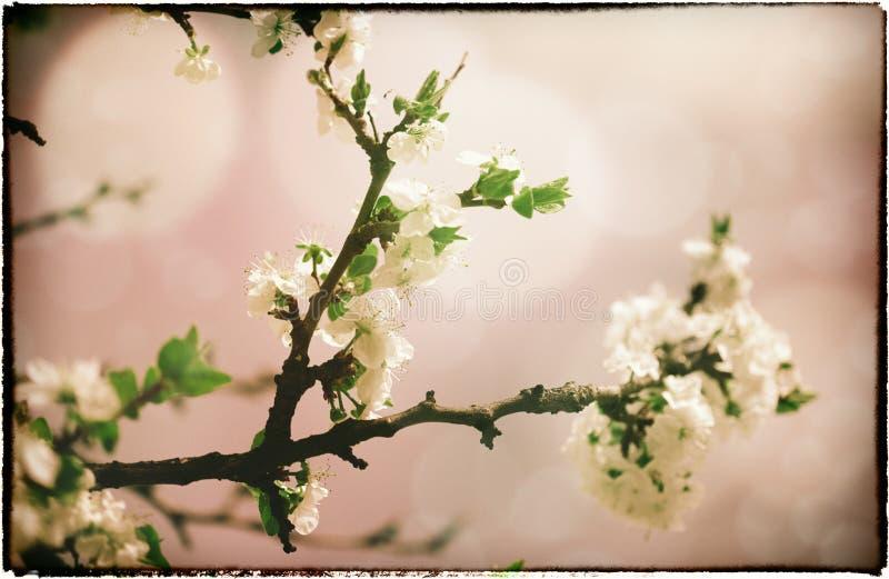 Sakura kwiaty. fotografia stock