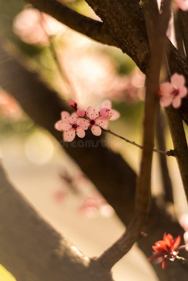 Sakura kwiaty obrazy stock