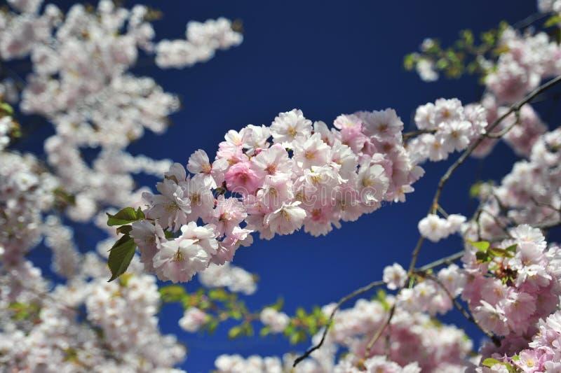 Sakura kwitnącej wiosny jaskrawy i ciepły dzień w Sztokholm obrazy stock