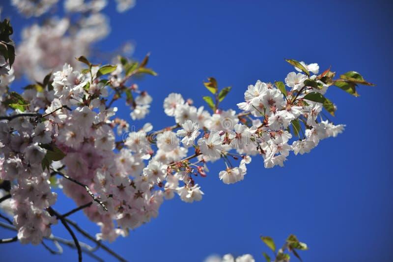 Sakura kwitnącej wiosny jaskrawy i ciepły dzień w Sztokholm zdjęcia stock