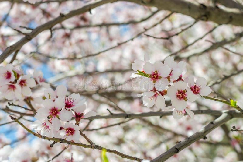 Sakura lub miękkiej ostrości czereśniowy okwitnięcie na natury tle kwitniemy obraz royalty free