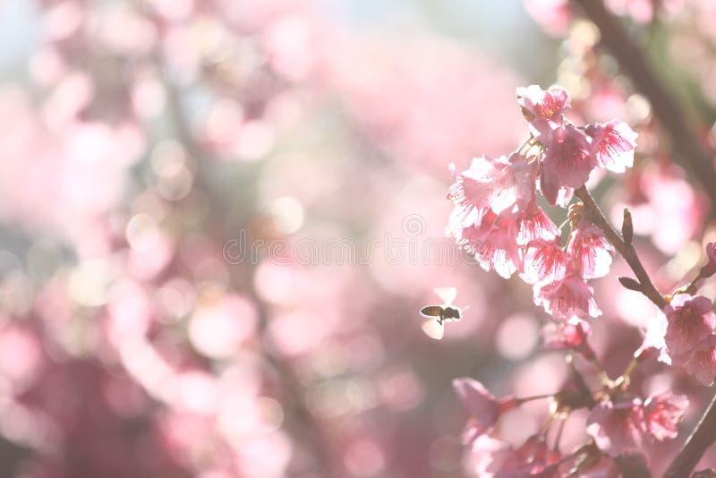 Sakura mit Biene stockfoto