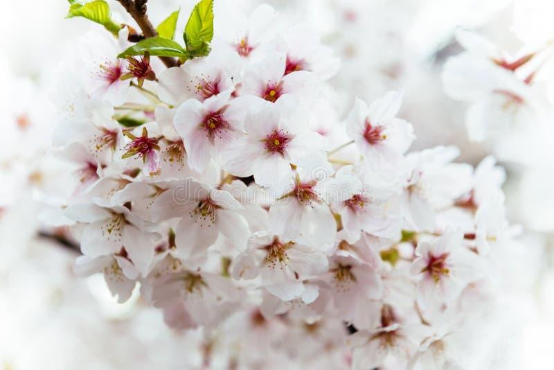 Sakura na flor na árvore do ramo da mola imagens de stock royalty free