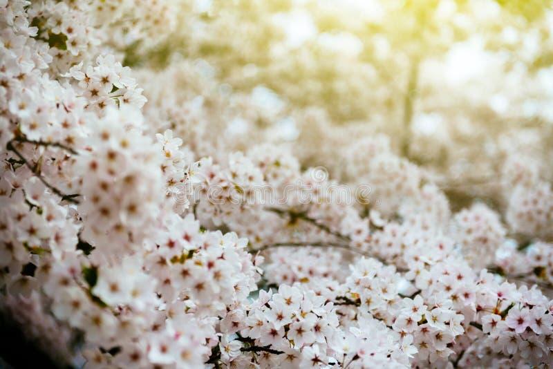 Sakura na flor na árvore do ramo da mola imagem de stock
