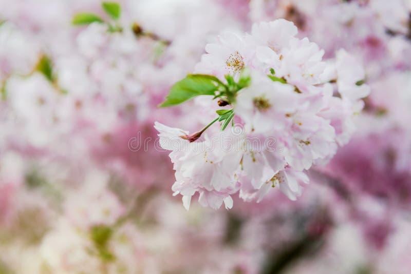 Sakura na flor na árvore do ramo da mola foto de stock royalty free