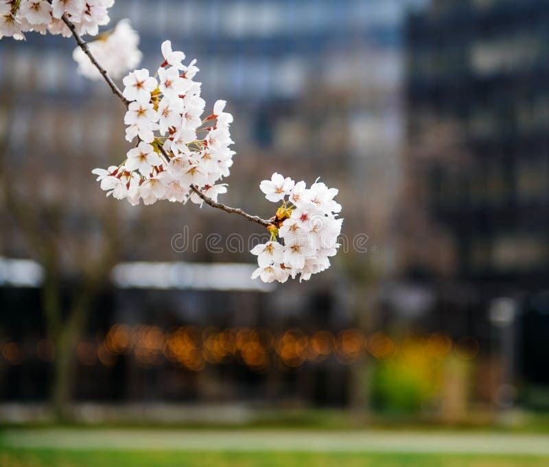 Sakura na flor na árvore do ramo da mola fotografia de stock