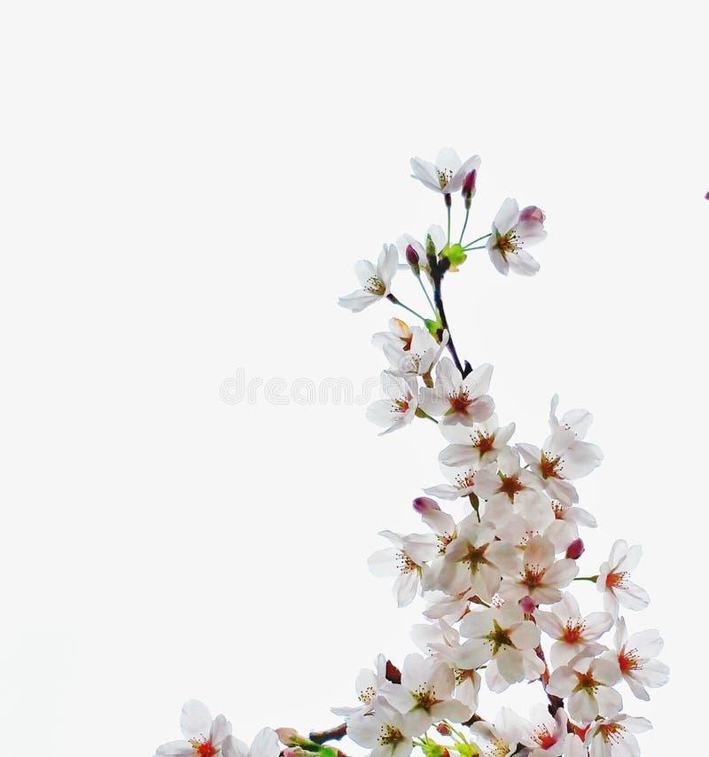 Sakura no fundo branco imagens de stock royalty free