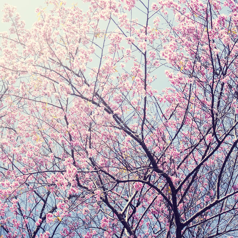 Sakura no inverno em Doi Kunwang, Chaingmai, Tailândia Vintage f foto de stock royalty free