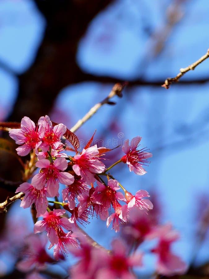 Sakura Northern Thailand lizenzfreie stockfotografie