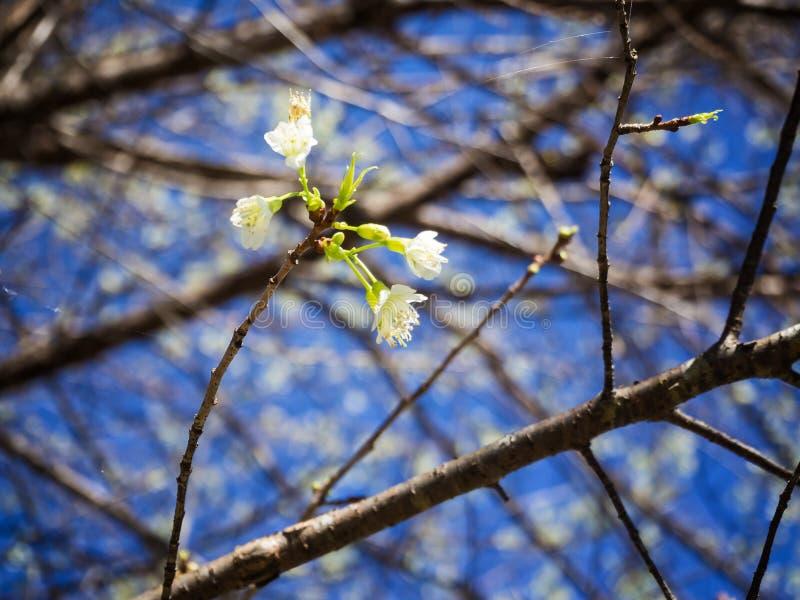 Sakura o fiore di ciliegia tailandese Sakura bianco immagini stock