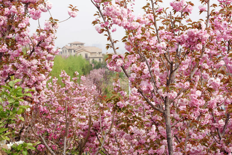 Sakura ogród obrazy royalty free