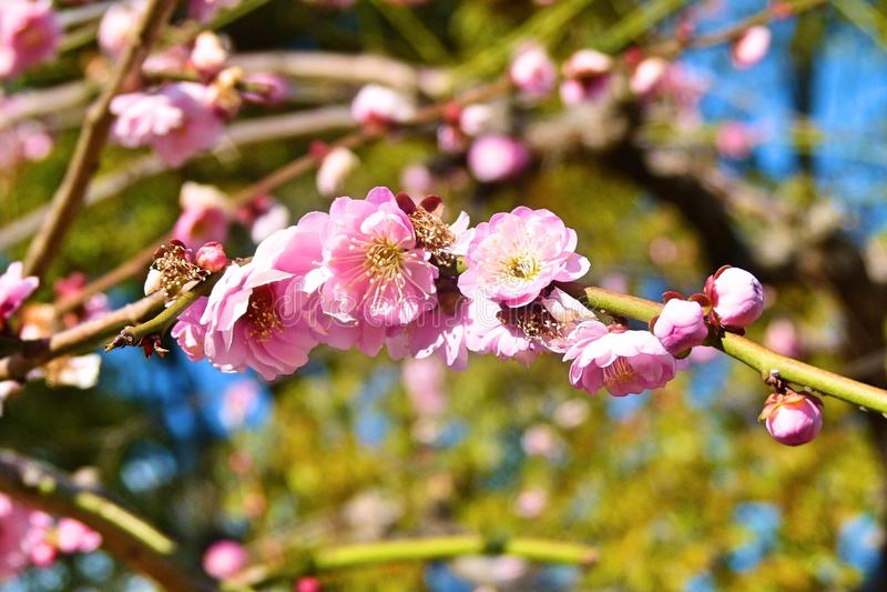 Sakura okwitnięcia menchie - Japoński czereśniowy drzewo obraz royalty free