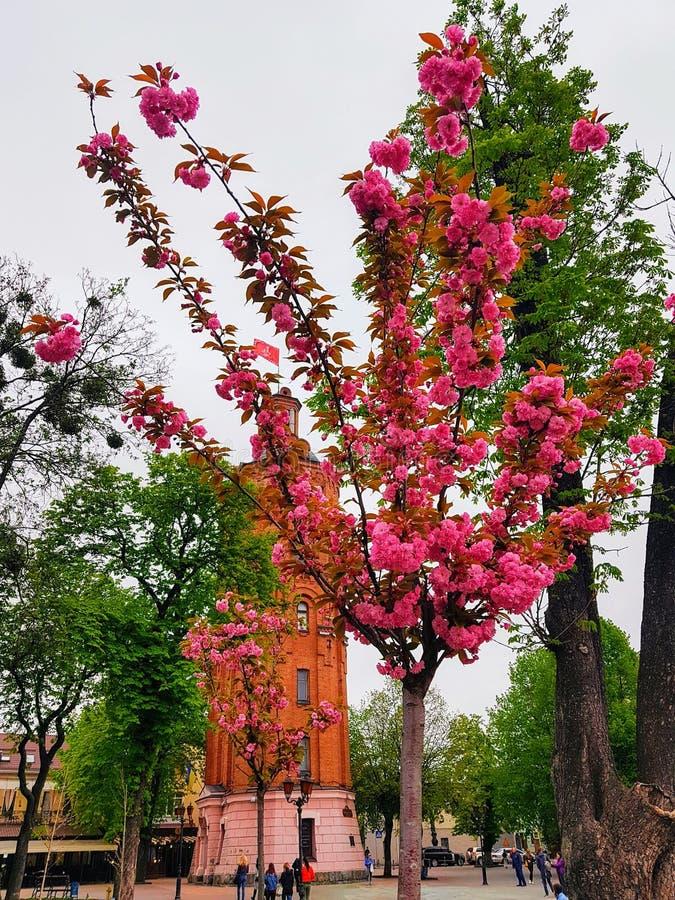 Sakura okwitnięcie blisko wierza w centre Vinnytsya miasto, Ukraina zdjęcie stock
