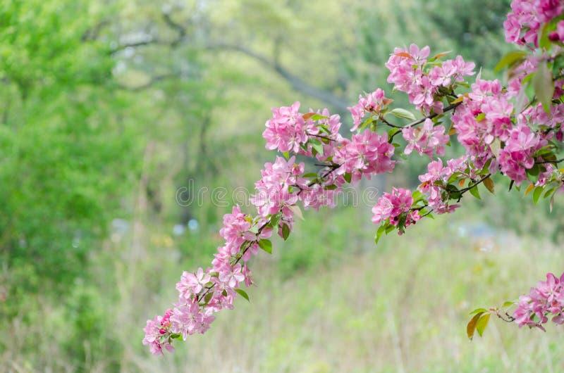 Sakura okwitnięcie w wysokość parku Toronto fotografia royalty free
