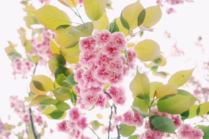 Sakura Osaka stock foto's