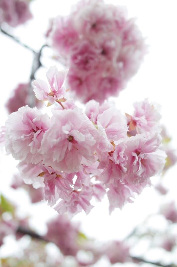 Sakura Osaka royalty-vrije stock afbeelding