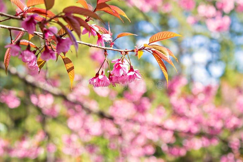 Sakura ou fleurs de cerisier thaïlandais photographie stock