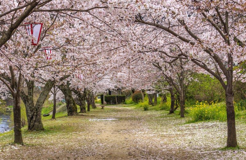 Sakura path 3 royalty free stock photos