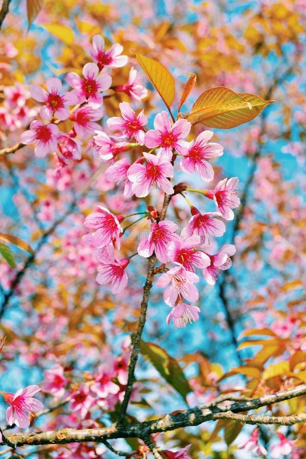 Sakura perdido fotos de archivo