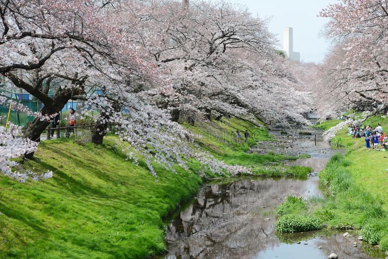 sakura perto de tokyo imagem de stock royalty free
