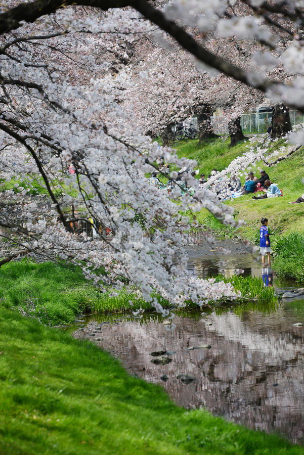 sakura perto de tokyo foto de stock