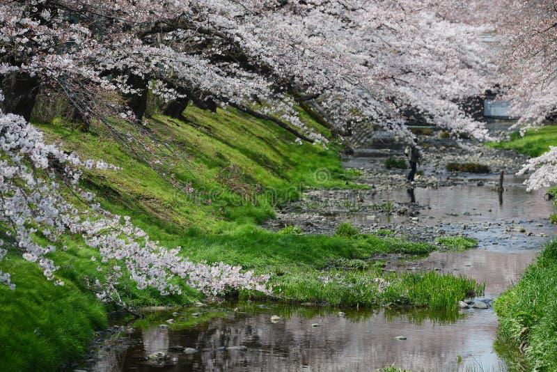 sakura perto de tokyo imagens de stock