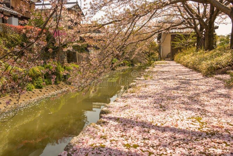 Sakura Petals Covering Ground, fossato di Omihachiman, Shiga fotografia stock libera da diritti