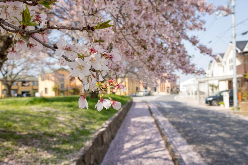 Sakura Petals Falling en el camino imagen de archivo libre de regalías