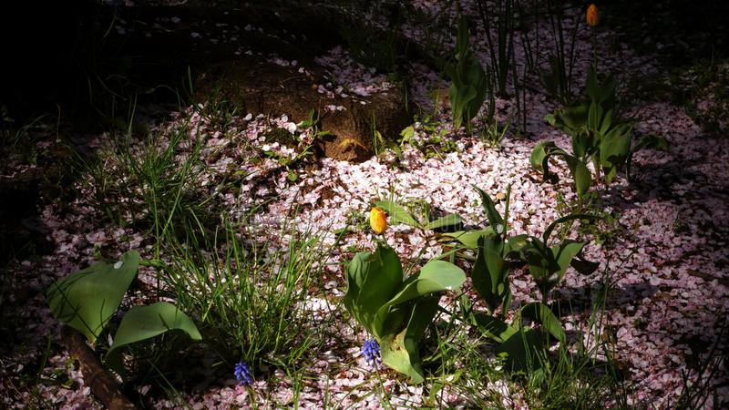 Sakura petals on the ground with a small tulip under the spot sunlight through the shade tree stock images